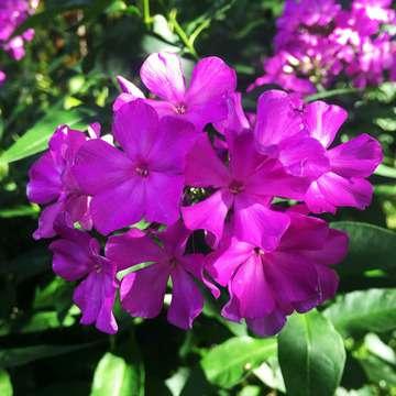 Aed-leeklill e.floks -7 (lillakas-roosa